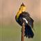 Singing Yellow headed blackbird