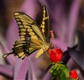 Giant Swallowtail At Turks Cap