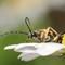 Beetle - Rutpela maculata (Black-and-Yellow Longhorn Beetle) 210704 (4)