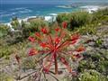 Candelabra Lily (Brunsvegia orientalis)