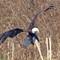 IMG_6430_eagle-2