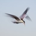 Tern In Flight-3681