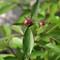 Peony Bud - Oozing Nectar (Smal 2l)