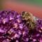 Honey-Bee-2a