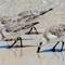Sanderlings 07