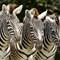 Zebras FL09-4 469aa
