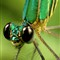 GREEN DRAGONFLY_31_1