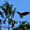 Eagle landing above mate: