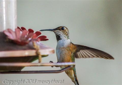 Hummingbird Saturday 2