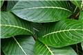 Oahu Green