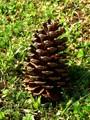Pine cone on my garden