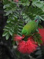 Vernal Hanging Parrot feeding in the rain.