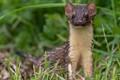 Long Tailed Weasel keep an eye on me