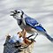 call of the winter bluejay