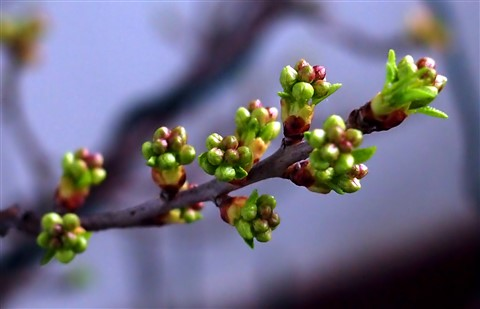 flower buds of Prunus mahaleb