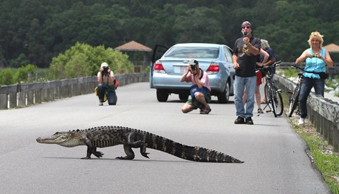 Photographing Walking Alligator