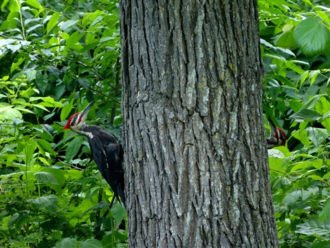 Pileated Pair