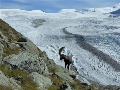 461 Glacier of Monte Rosa