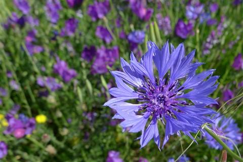 BlueWildflowerMadrid-bg