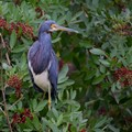 Heron  (Tricolored)