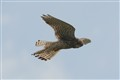 Kestrel: Bird of Prey