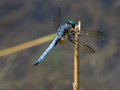 blue-dasher-7260042