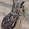 Long Eared Owl Yoyogi Koen Tokyo  1.29.17