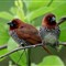 500_Scaly_breasted_Munia_IMG_3207