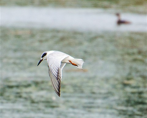 Forster's Tern in Flight at Viera Wetlands Florida (Sterna forsteri)