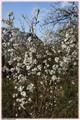 Cherry-blossom tree