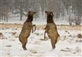 Elk Boxing