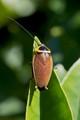 Cockroach - Austral Ellipsidion