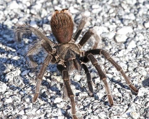 Tarantula on the Road