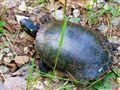 Common Turtle