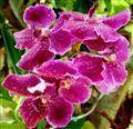 Orchid in me garden - Thailand