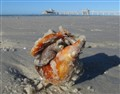 Large shellfish, small pier at Fort Meyers Beach