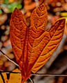 Arkansas Fall Leaf