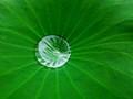 Hydrocentric Leaf