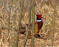 Ring-neck Pheasant on the run