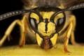 Yellow Jacket Wasp (vespula vulgaris)