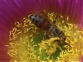 Pollen Plunger