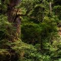 Sitka spruce grove