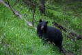 Kooteney Black Bear