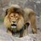 LION_MG_9831