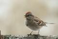 american tree sparrow wkith seed