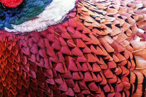 DSCN0231 Pheasant f04 feathers
