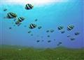 Bannerfish Landscape