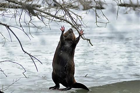 Beaver1