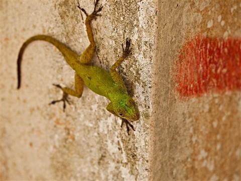 Lizard1080135