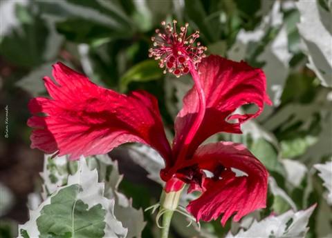 Hybrid hibiscus (Hibiscus x species - Malvaceae)